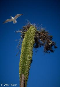 Windswept Tree and Seagull