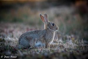 Wild Rabbit Amrum 02