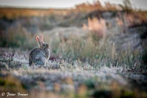 Wild Rabbit Amrum 03