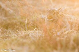 Wild Rabbit Amrum Backlit 01