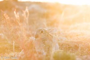 Wild Rabbit Amrum Backlit 02