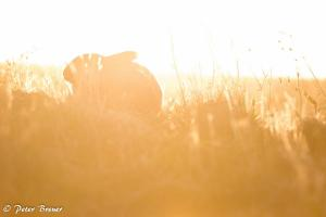 Wild Rabbit Amrum Silhouette 01