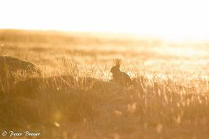 Wild Rabbit Amrum Silhouette 02